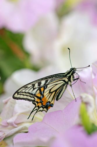 蝶々2.jpg
