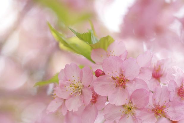 想い出桜…