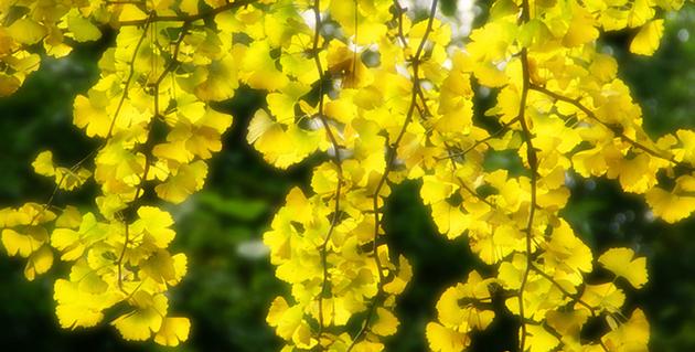 明るく~明るく~☆~☆~☆~~黄葉♪.