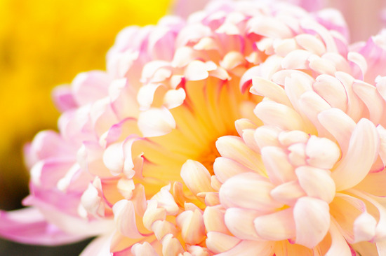 菊花9.jpg