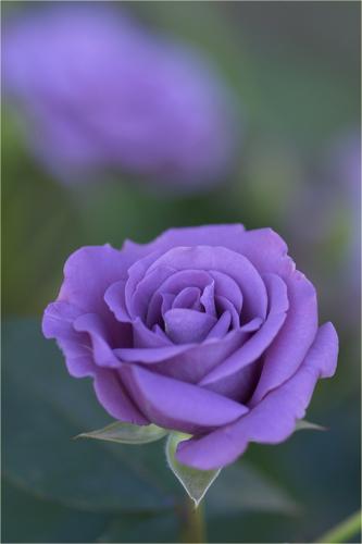 薔薇...jpg